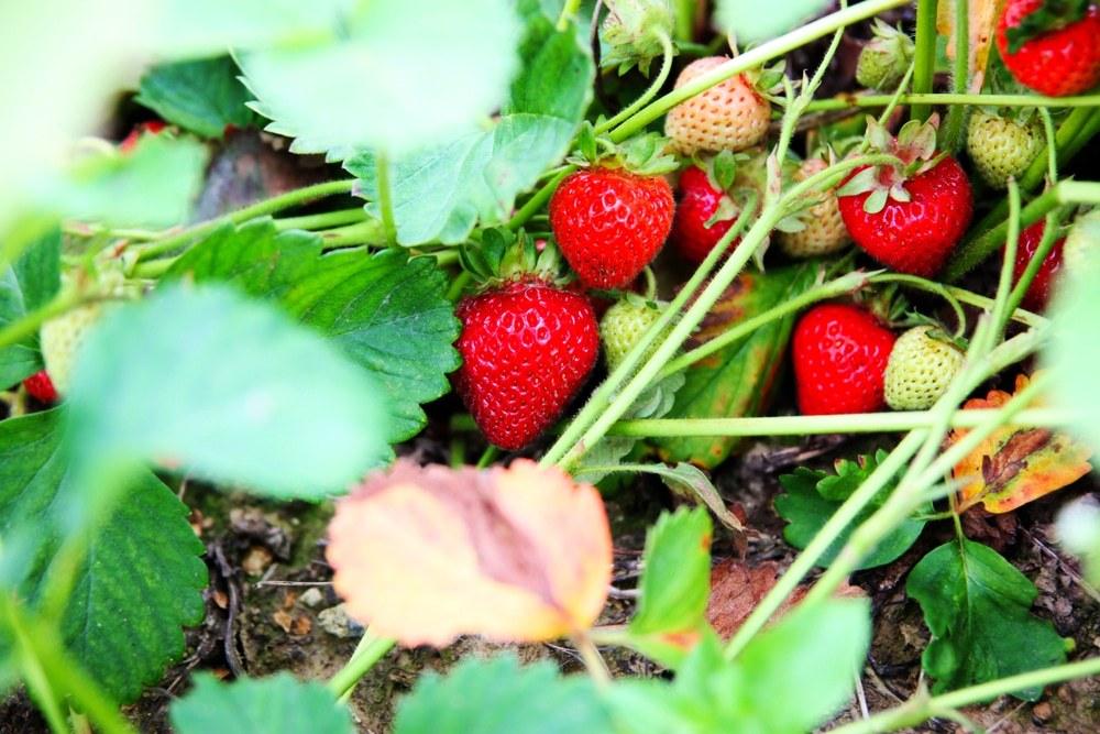 Granja de fresas de Kelowna