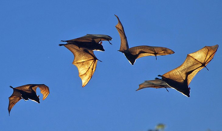 Murciélagos de fruta
